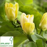 Магнолія 'Єлоу Берд' - Magnolia 'Yellow Bird'